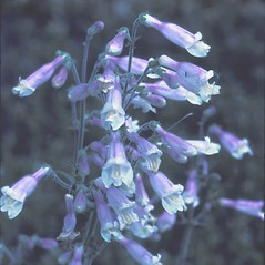 Flowers: Penstemon hirsutus. ~ By Dorothy Long. ~ Copyright © 2019 New England Wild Flower Society. ~ Image Request, images[at]newenglandwild.org