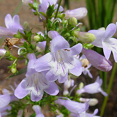 Flowers: Penstemon laevigatus. ~ By Brian Upcavage. ~ Copyright © 2019 Brian Upcavage. ~ Requests for image use not currently accepted by copyright holder ~ Atlas of Florida Vascular Plants - florida.plantatlas.usf.edu/Default.aspx