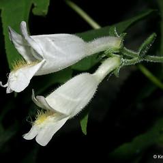 Flowers: Penstemon pallidus. ~ By Keir Morse. ~ Copyright © 2019 Keir Morse. ~ www.keiriosity.com ~ www.keiriosity.com
