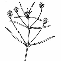 Flowers: Plantago arenaria. ~ By Gordon Morrison. ~ Copyright © 2019 New England Wild Flower Society. ~ Image Request, images[at]newenglandwild.org