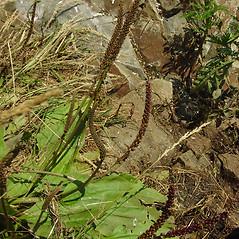 Plant form: Plantago intermedia. ~ By Glen Mittelhauser. ~ Copyright © 2019 Glen Mittelhauser. ~ www.mainenaturalhistory.org