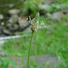 Flowers: Plantago lanceolata. ~ By Arthur Haines. ~ Copyright © 2018. ~ arthurhaines[at]wildblue.net