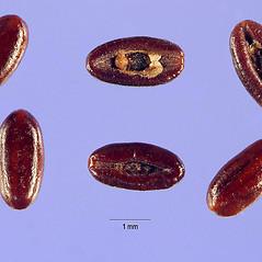 Fruits: Plantago lanceolata. ~ By Steve Hurst. ~  Public Domain. ~  ~ USDA-NRCS Plants Database - plants.usda.gov/java/