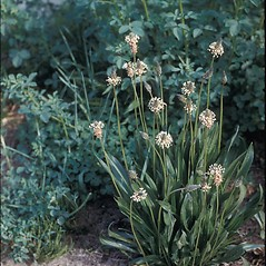 Plant form: Plantago lanceolata. ~ By Frank Bramley. ~ Copyright © 2017 New England Wild Flower Society. ~ Image Request, images[at]newenglandwild.org