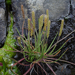 Plant form: Plantago maritima. ~ By Donald Cameron. ~ Copyright © 2018 Donald Cameron. ~ No permission needed for non-commercial uses, with proper credit