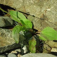 Plant form: Plantago rugelii. ~ By Glen Mittelhauser. ~ Copyright © 2019 Glen Mittelhauser. ~ www.mainenaturalhistory.org