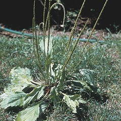 Plant form: Plantago rugelii. ~ By Samuel Hoar. ~ Copyright © 2017 New England Wild Flower Society. ~ Image Request, images[at]newenglandwild.org