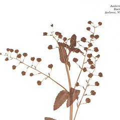 Fruits: Veronica americana. ~ By Amherst College Herbarium. ~ Copyright © 2019 Amherst College Herbarium. ~ Amherst College Herbarium