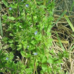Plant form: Veronica arvensis. ~ By Glen Mittelhauser. ~ Copyright © 2017 Glen Mittelhauser. ~ www.mainenaturalhistory.org