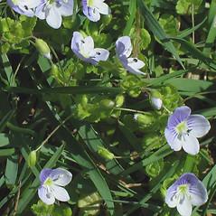 Flowers: Veronica hederaefolia. ~ By Alexey Zinovjev. ~ Copyright © 2018. ~ webmaster[at]salicicola.com ~ Salicicola - www.salicicola.com/