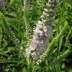 Flowers: Veronica longifolia. ~ By Glen Mittelhauser. ~ Copyright © 2019 Glen Mittelhauser. ~ www.mainenaturalhistory.org