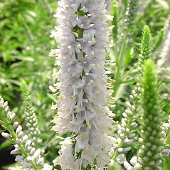 Flowers: Veronica longifolia. ~ By Glen Mittelhauser. ~ Copyright © 2018 Glen Mittelhauser. ~ www.mainenaturalhistory.org