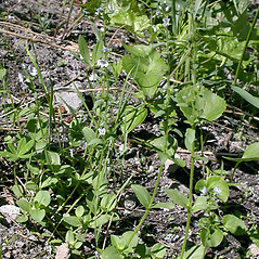 Plant form: Veronica serpyllifolia. ~ By Keir Morse. ~ Copyright © 2017 Keir Morse. ~ www.keiriosity.com ~ www.keiriosity.com
