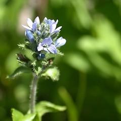 Flowers: Veronica wormskjoldii. ~ By Mary Ellen Harte. ~ Copyright © 2019 CC BY-NC 3.0. ~  ~ Bugwood - www.bugwood.org/