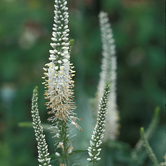 Flowers: Veronicastrum virginicum. ~ By Dorothy Long. ~ Copyright © 2018 New England Wild Flower Society. ~ Image Request, images[at]newenglandwild.org