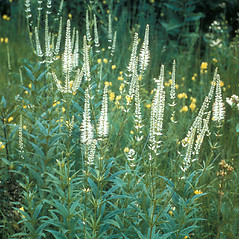 Plant form: Veronicastrum virginicum. ~ By Frank Bramley. ~ Copyright © 2018 New England Wild Flower Society. ~ Image Request, images[at]newenglandwild.org