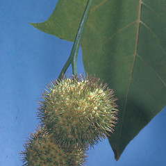 Fruits: Platanus hybrida. ~ By Adelaide Pratt. ~ Copyright © 2019 New England Wild Flower Society. ~ Image Request, images[at]newenglandwild.org