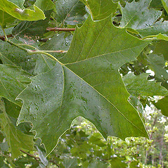 Leaves: Platanus hybrida. ~ By Andrew Nelson. ~ Copyright © 2019 Andrew Nelson. ~ andrew.nelson[at]oswego.edu   ~ New York Flora Atlas - newyork.plantatlas.usf.edu