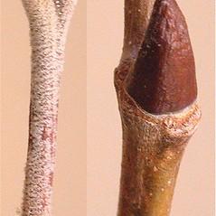 Winter buds: Platanus hybrida. ~ By Andrew Nelson. ~ Copyright © 2020 Andrew Nelson. ~ andrew.nelson[at]oswego.edu   ~ New York Flora Atlas - newyork.plantatlas.usf.edu