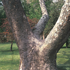 Bark: Platanus occidentalis. ~ By John Lynch. ~ Copyright © 2019 New England Wild Flower Society. ~ Image Request, images[at]newenglandwild.org