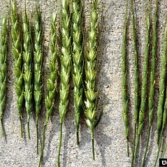 Inflorescences: Aegilops cylindrica. ~ By USDA APHIS PPQ. ~ Copyright © 2020 CC BY-NC 3.0. ~  ~ Bugwood - www.bugwood.org/