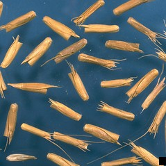 Spikelets: Aegilops cylindrica. ~ By Howard Schwartz. ~ Copyright © 2019 CC BY-NC 3.0. ~  ~ Bugwood - www.bugwood.org/