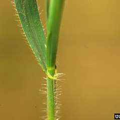Stems and sheaths: Aegilops cylindrica. ~ By Steve Dewey. ~ Copyright © 2019 CC BY-NC 3.0. ~  ~ Bugwood - www.bugwood.org/