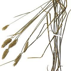 Plant form: Agropyron cristatum. ~ By Anna Gardner. ~ Copyright © 2019. ~ dlewis[at]ias.edu ~ Ada Hayden Herbarium - Iowa State U.