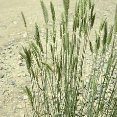Plant form: Agropyron cristatum. ~ By Steve Dewey. ~ Copyright © 2019 CC BY-NC 3.0. ~  ~ Bugwood - www.bugwood.org/
