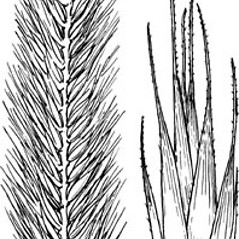 Spikelets: Agropyron cristatum. ~ By Elsie Froeschner. ~ Copyright © 2019 Ellen L. Froeschner. ~ Ellen L. Froeschner, 1939-A Frankin Blvd., Carmel Indiana 46032 ~ Ada Hayden Herbarium - Iowa State U.