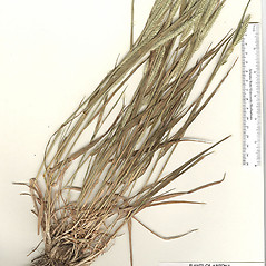 Plant form: Agropyron desertorum. ~ By Arizona State Herbarium. ~ Copyright © 2017 Arizona State Herbarium. ~ Leslie Landrum, les.landrum[at]asu.edu ~ Southwest Environmental Information Network - swbiodiversity.org/seinet/imagelib/index.php