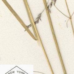 Ligules: Agrostis canina. ~ By William and Linda Steere and the C.V. Starr Virtual Herbarium. ~ Copyright © 2017 William and Linda Steere and the C.V. Starr Virtual Herbarium. ~ Barbara Thiers, Director; bthiers[at]nybg.org ~ C.V. Starr Herbarium - NY Botanical Gardens