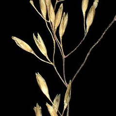 Spikelets: Agrostis capillaris. ~ By Andrea Moro. ~ Copyright © 2017 CC BY-NC-SA 3.0. ~  ~ www.luirig.altervista.org