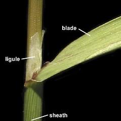 Ligules: Agrostis gigantea. ~ By Anna Gardner. ~ Copyright © 2019. ~ dlewis[at]ias.edu ~ Ada Hayden Herbarium - Iowa State U.