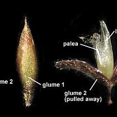 Spikelets: Agrostis gigantea. ~ By Anna Gardner. ~ Copyright © 2020. ~ dlewis[at]ias.edu ~ Ada Hayden Herbarium - Iowa State U.