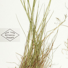 Leaves: Agrostis hyemalis. ~ By William and Linda Steere and the C.V. Starr Virtual Herbarium. ~ Copyright © 2019 William and Linda Steere and the C.V. Starr Virtual Herbarium. ~ Barbara Thiers, Director; bthiers[at]nybg.org ~ C.V. Starr Herbarium - NY Botanical Gardens