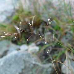 Plant form: Agrostis mertensii. ~ By Arthur Haines. ~ Copyright © 2019. ~ arthurhaines[at]wildblue.net