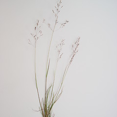 Plant form: Agrostis mertensii. ~ By Donald Cameron. ~ Copyright © 2019 Donald Cameron. ~ No permission needed for non-commercial uses, with proper credit