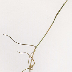 Leaves: Agrostis mertensii. ~ By CONN Herbarium. ~ Copyright © 2019 CONN Herbarium. ~ Requests for image use not currently accepted by copyright holder ~ U. of Connecticut Herbarium - bgbaseserver.eeb.uconn.edu/
