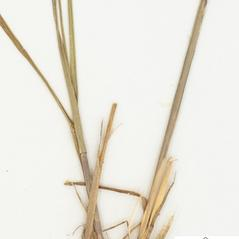 Stems and sheaths: Agrostis mertensii. ~ By William and Linda Steere and the C.V. Starr Virtual Herbarium. ~ Copyright © 2019 William and Linda Steere and the C.V. Starr Virtual Herbarium. ~ Barbara Thiers, Director; bthiers[at]nybg.org ~ C.V. Starr Herbarium - NY Botanical Gardens