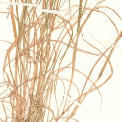 Leaves: Agrostis perennans. ~ By William and Linda Steere and the C.V. Starr Virtual Herbarium. ~ Copyright © 2017 William and Linda Steere and the C.V. Starr Virtual Herbarium. ~ Barbara Thiers, Director; bthiers[at]nybg.org ~ C.V. Starr Herbarium - NY Botanical Gardens
