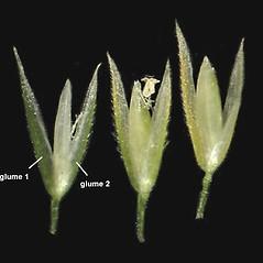 Spikelets: Agrostis perennans. ~ By Anna Gardner. ~ Copyright © 2017. ~ dlewis[at]ias.edu ~ Ada Hayden Herbarium - Iowa State U.