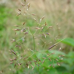Spikelets: Agrostis perennans. ~ By Glen Mittelhauser. ~ Copyright © 2017 Glen Mittelhauser. ~ www.mainenaturalhistory.org