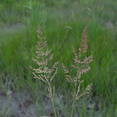 Inflorescences: Agrostis stolonifera. ~ By Donald Cameron. ~ Copyright © 2018 Donald Cameron. ~ No permission needed for non-commercial uses, with proper credit