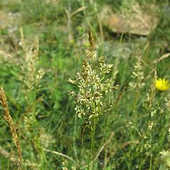 Inflorescences: Agrostis stolonifera. ~ By Glen Mittelhauser. ~ Copyright © 2018 Glen Mittelhauser. ~ www.mainenaturalhistory.org