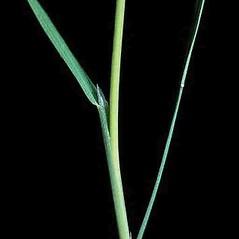 Ligules: Agrostis stolonifera. ~ By Joseph DiTomaso. ~ Copyright © 2018 CC BY-NC 3.0. ~  ~ Bugwood - www.bugwood.org/