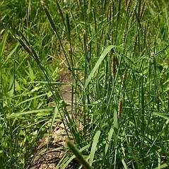 Plant form: Alopecurus aequalis. ~ By Steve Garske. ~ Copyright © 2019 Steve Garske. ~ asimina[at]alphacomm.net
