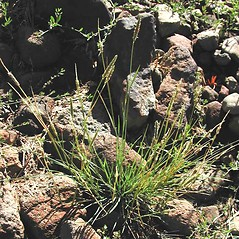 Plant form: Alopecurus carolinianus. ~ By Max Licher. ~ Copyright © 2019 Max Licher. ~ mlicher[at]wildapache.net ~ Southwest Environmental Information Network - swbiodiversity.org/seinet/imagelib/index.php