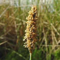 Spikelets: Alopecurus geniculatus. ~ By Glen Mittelhauser. ~ Copyright © 2018 Glen Mittelhauser. ~ www.mainenaturalhistory.org