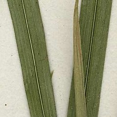 Leaves: Alopecurus pratensis. ~ By CONN Herbarium. ~ Copyright © 2019 CONN Herbarium. ~ Requests for image use not currently accepted by copyright holder ~ U. of Connecticut Herbarium - bgbaseserver.eeb.uconn.edu/